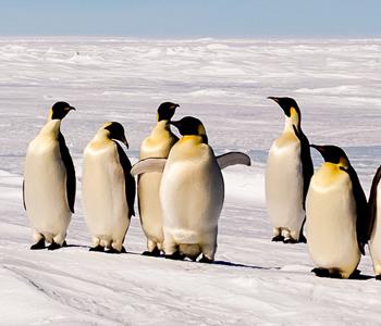 Emperor Penguins 350x300